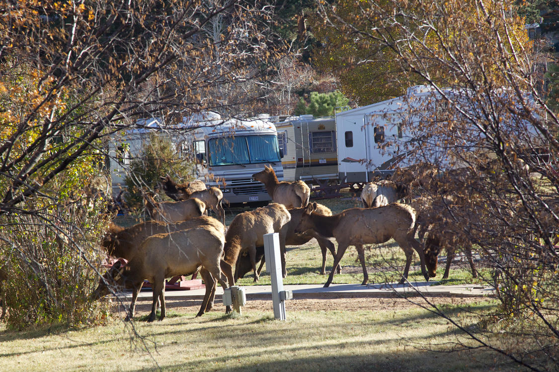Elk at Manor RV Park